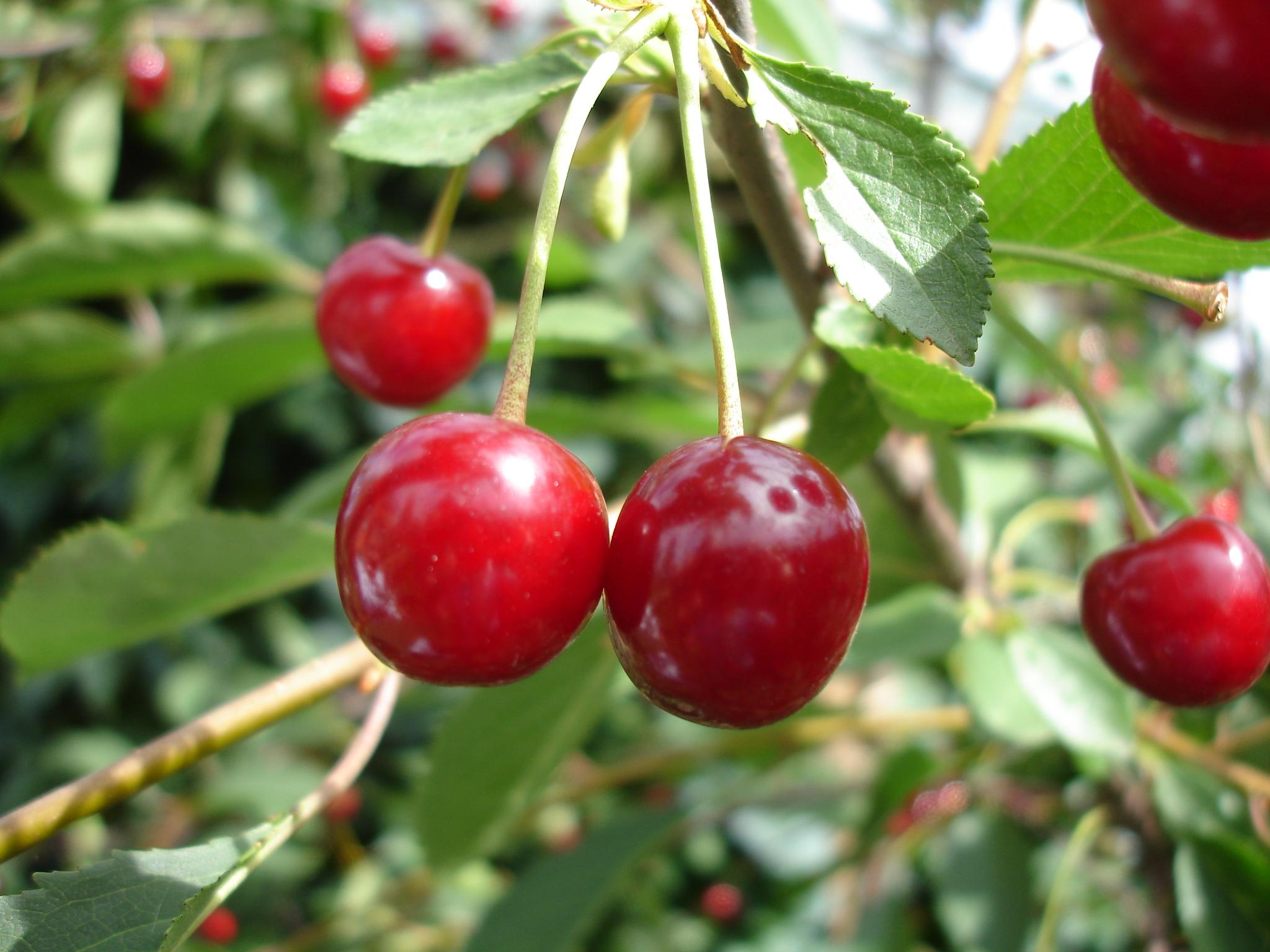 cherries growing on tree